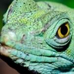 Le Basilic vert, ou Basiliscus plumifrons, un lézard d'exception