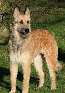 Le berger belge, un chien à ne pas mettre entre toutes les mains