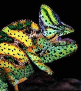Le changement de couleur des caméléons
