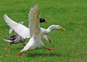 Le coureur indien, un canard toujours pressé
