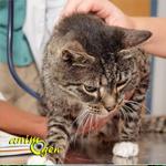 Santé : les problèmes liés au dysfonctionnement du foie chez le chat