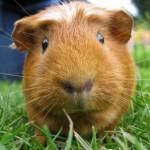 Le cochon d'Inde, Cobaye, ou Cavia aperea porcellus