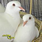 Santé : ponte, incubation et croissance des oisillons chez les colombes blanches