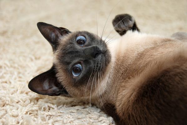 Siamese Himalayan Cat Names