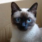 Santé : l'influence de la température sur la couleur des chats siamois