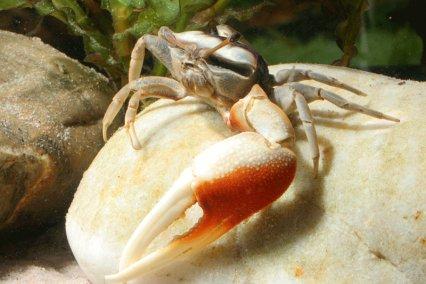 Le crabe violoniste, ou Uca pugilator, un crustacé nain hors du commun