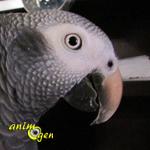 Le Gris du Timneh, ou Psittacus erithacus timneh, sombre cousin du gris du Gabon