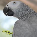 Santé : le halètement chez le perroquet (causes, symptômes, traitement)