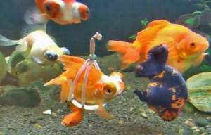 Des tentatives du même ordre avaient déjà été faites par d'autres aquariophiles, comme ci-dessus avec une bande de gaze. La gaze ne convenait hélas qu'à court terme, sa surface étant irritante pour l'animal.