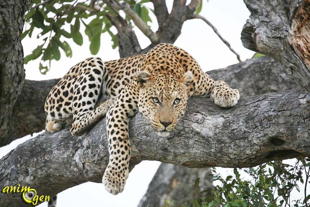 Le l opard panthera pardus un f lin insaisissable animogen - Felin de la savane ...
