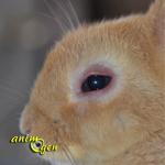 Santé : la conjonctivite chez nos lapins de compagnie (causes,symptômes, traitement)