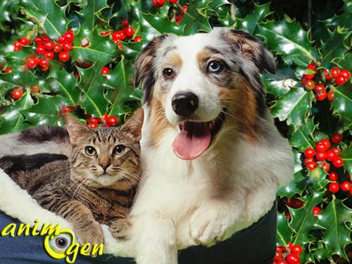 Sant les plantes de no l toxiques pour nos chiens et - Plantes toxiques non toxiques chien chat ...