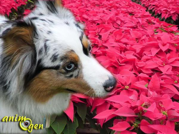 Sant les plantes de no l toxiques pour nos chiens et for Plante toxique chien