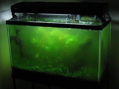 Aquariophilie d'eau douce :  la nage et respiration à la surface (causes et solutions)