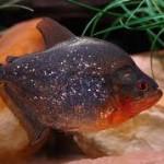 Le piranha rouge, ou Pygocentrus nattereri, un poisson aux dents longues