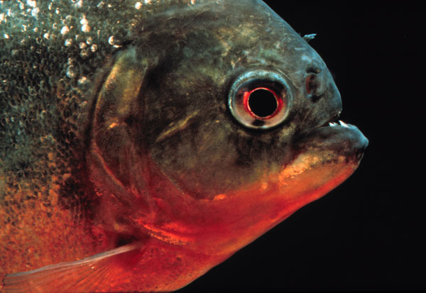 Le piranha rouge ou pygocentrus nattereri un poisson aux for Alimentation naturelle poisson rouge