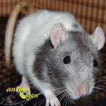 Santé : queue recourbée sur le dos chez le rat et la souris (causes, symptômes, solutions)