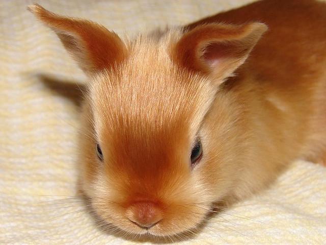 Le lapin satin, un joyau à grandes oreilles