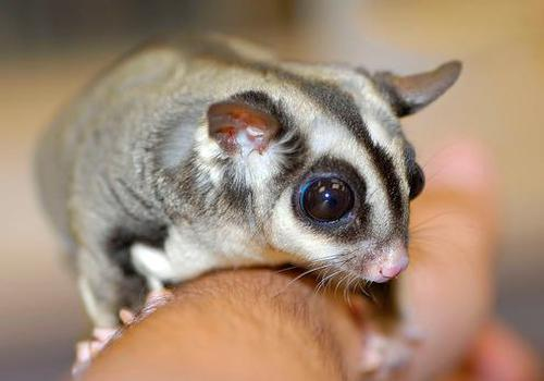 Le sugar glider un marsupial comme animal de compagnie animogen - Animal de compagnie appartement ...