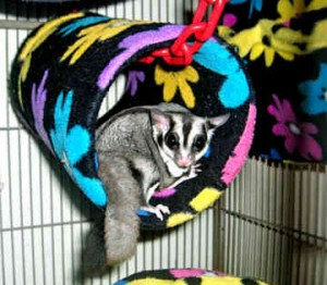 Le sugar glider, un marsupial comme animal de compagnie