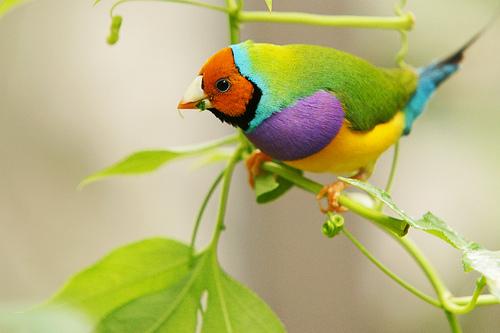 Oiseau Martine 27/08 trouvé par Ajonc et Jov Diamant-Gould-Chloebia-gouldiae-bec-droit-esp%C3%A8ce-alimentation-maintien-reproduction-comportement-dimorphisme-oiseau-estrildid%C3%A9-animal-animaux-compagnie-animogen-5