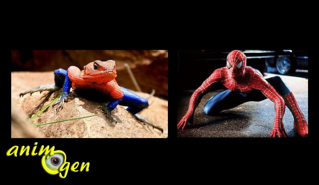 Le Lézard Spiderman, Agame des colons, Mwanza Agama, ou Agama mwanzae, un saurien digne des Comics