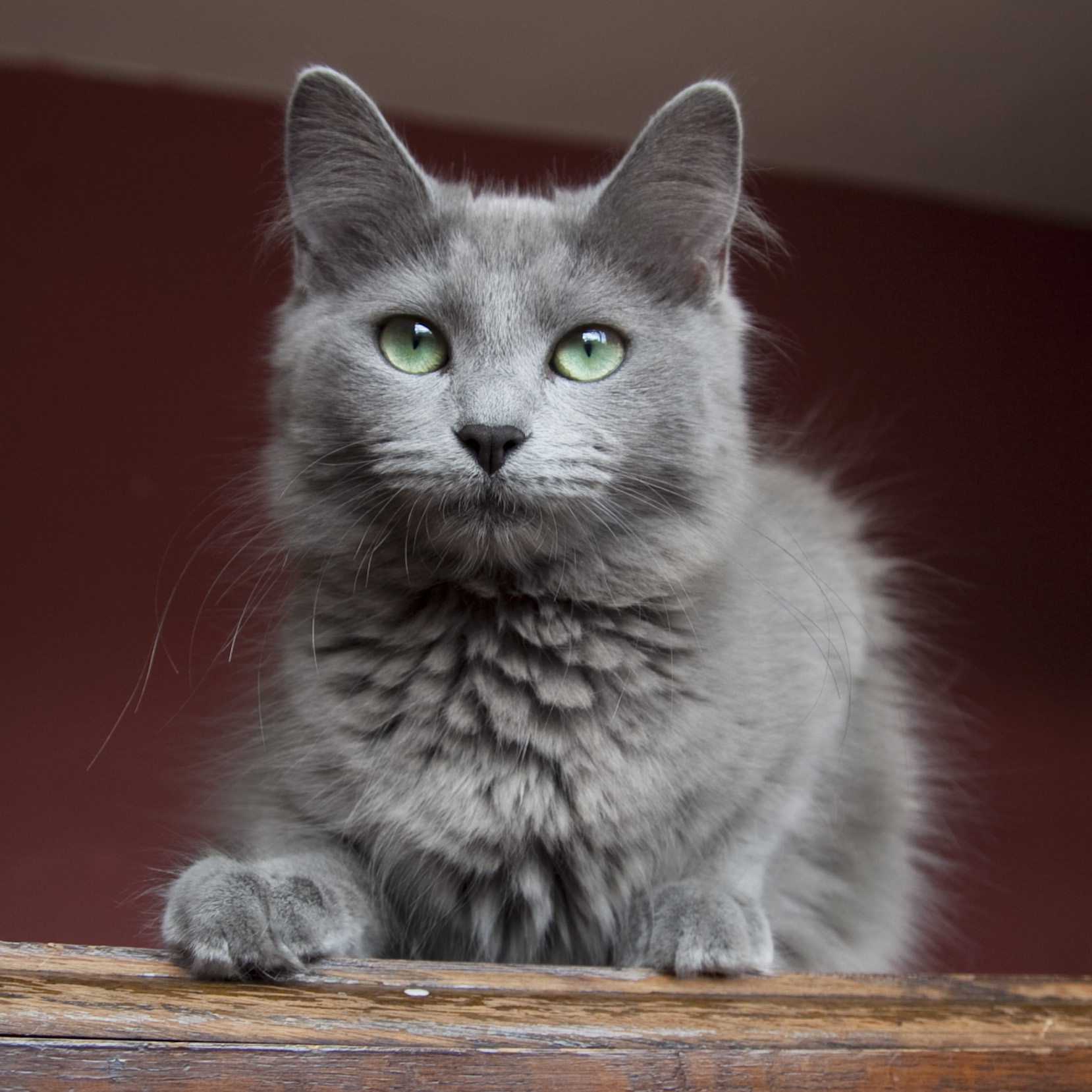 Grey Medium Haired Cat