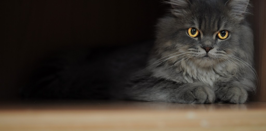 le chat persan le raffinement et l l gance f line animogen. Black Bedroom Furniture Sets. Home Design Ideas