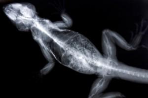 Santé : les abcès chez les reptiles (causes, symptômes et traitements)