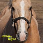 Reproduction et critères de sélection génétiques chez les chevaux : quelles sont les priorités ?