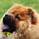 Le Chow chow, ou Choo, un chien au sourire bleu
