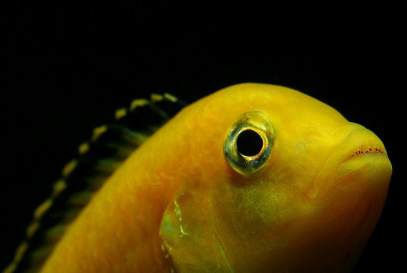 Labido jaune, Bouton d'or du Malawi, ou Labidochromis caerulus