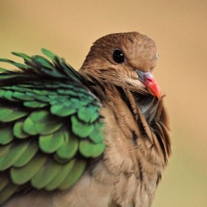La colombe turvert, ou chalcophaps indica, l'oiseau aux ailes d'émeraude
