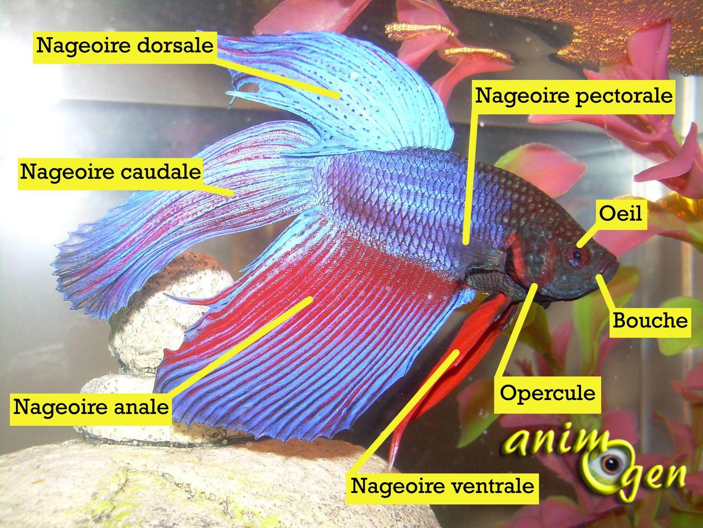 Le poisson combattant combattant du siam ou betta for Nourriture pour poisson combattant