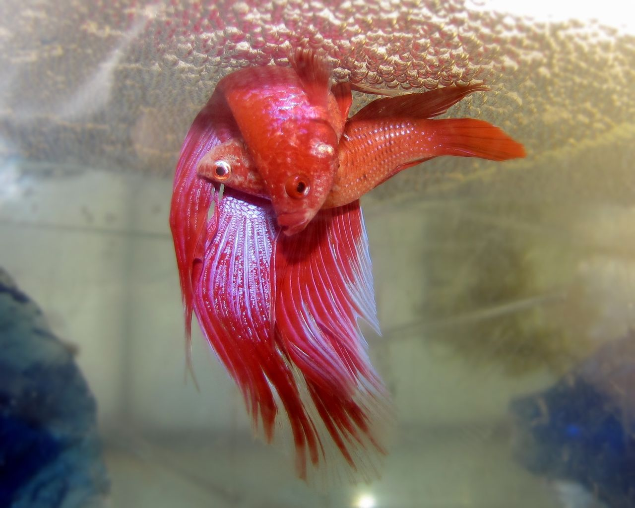 Le poisson combattant combattant du siam ou betta for Bloc de nourriture pour poisson