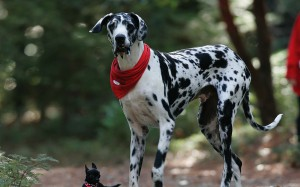Le dogue Allemand, doux chien géant
