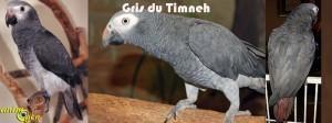 Gris du Timneh et gris du Gabon : quelles sont les différences de caractère et de comportement ?