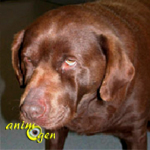 Santé : l'hypothyroïdie chez le chien, causes, symptômes et traitement de la maladie