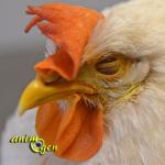 Santé : la jaunisse chez les poules et autres oiseaux de basse-cour (causes, symptômes, traitement)