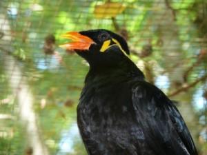 Le mainate religieux, ou Gracula religiosa, un oiseau parleur inégalable