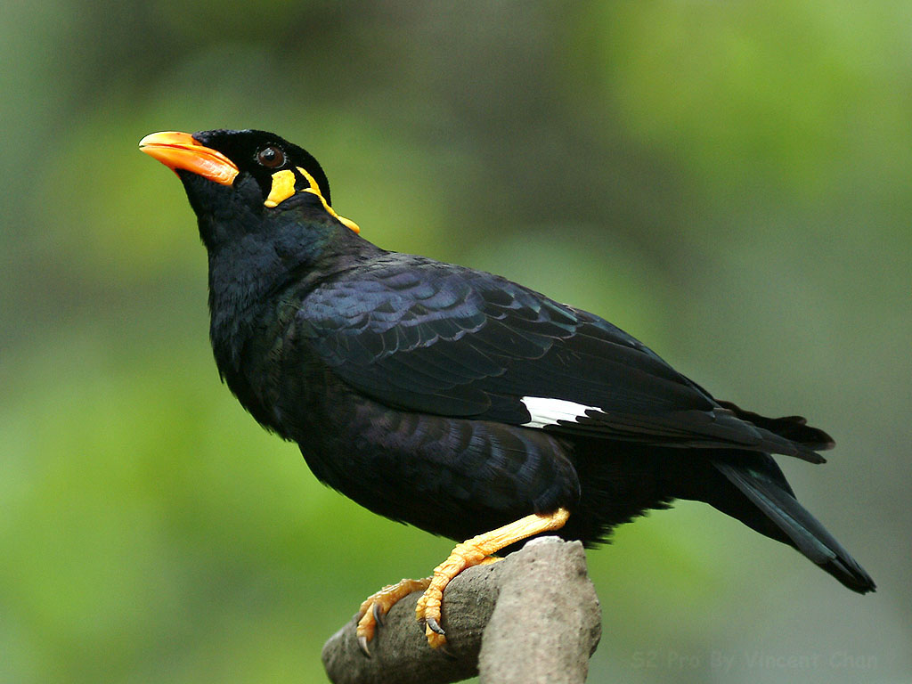 Gracula religiosa, Common hill myna, 鹩哥, Bird, 鳥, Malaysia ... - photo#42