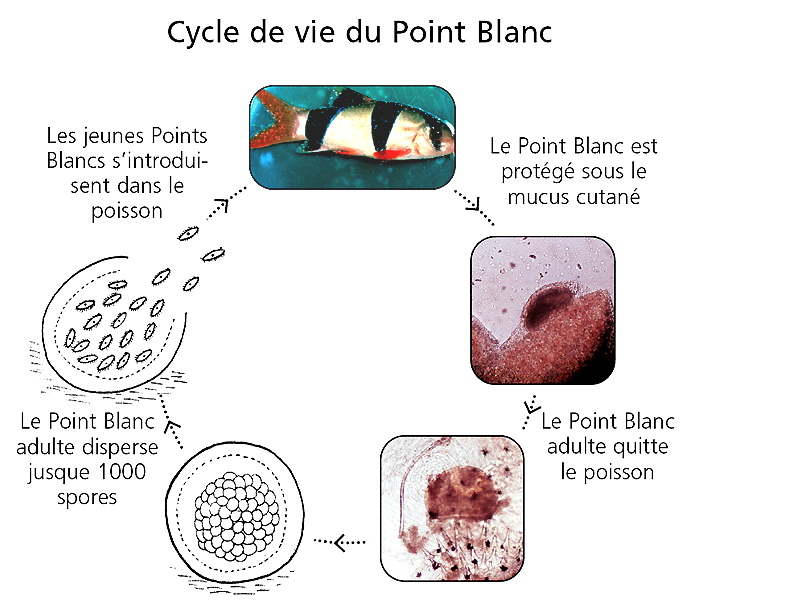 1 maladie des points blancs ichthyophthirius multifiliis for Bac hopital poisson