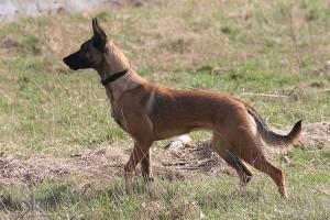 Education, comportement : le malinois est-il un chien comme les autres ?