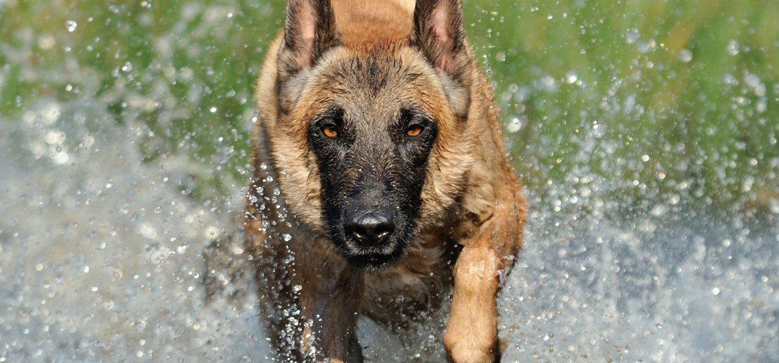 Education, comportement : le malinois est-il un chien ...