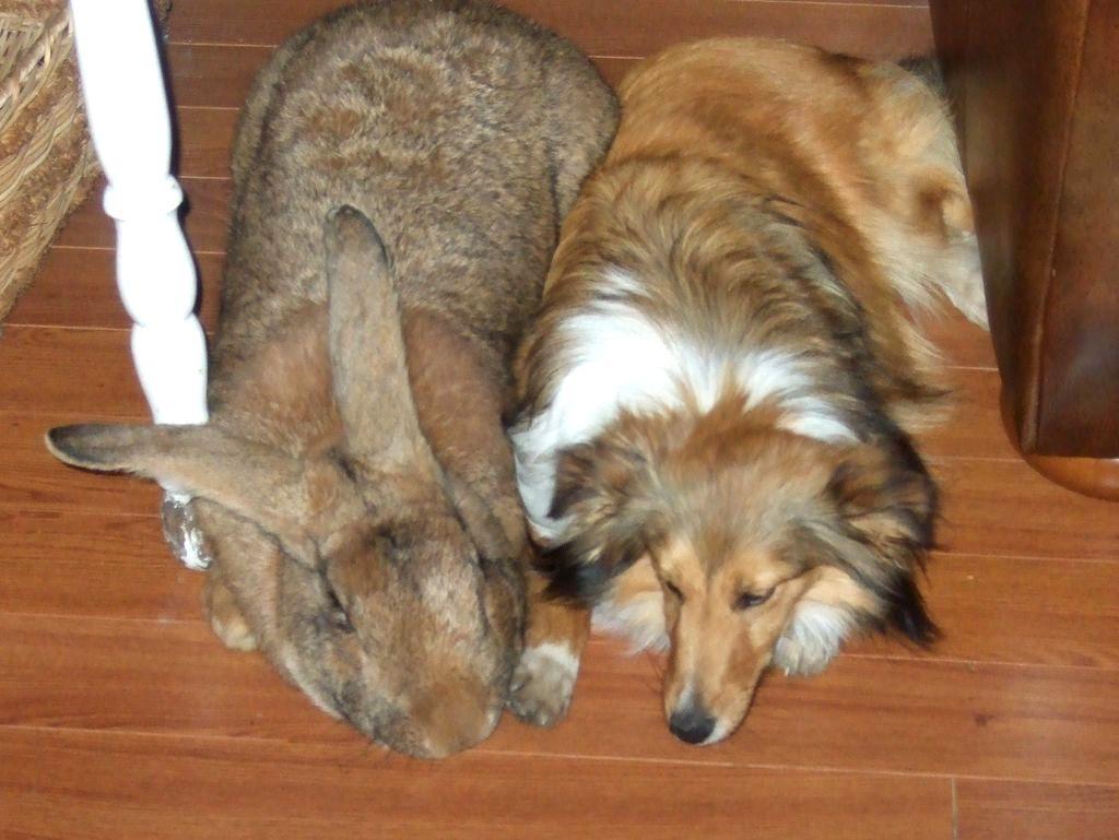 Comment savoir si un bébé lapin est nain ?