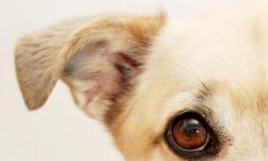 Langage corporel canin : comment interpréter la position des oreilles de nos chiens ?