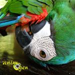 picage-santé-plumes-arrachage-perroquets-oiseaux-psittacidés-causes-neurologiques-neuronales-animal-animaux-compagnie-animogen-2