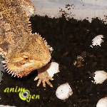 La reproduction chez le Pogona Vitticeps, dragon barbu ou agame barbu