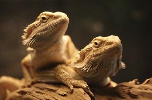 La reproduction chez le Pogona Vitticeps, dragon barbu ou agame barbu