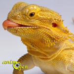 Le Pogona vitticeps, dragon barbu ou agame barbu (mode de vie, maintien, reproduction)
